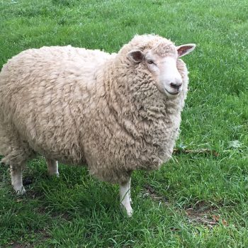 Sally sheep