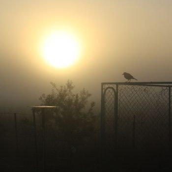 Magpie at Dawn