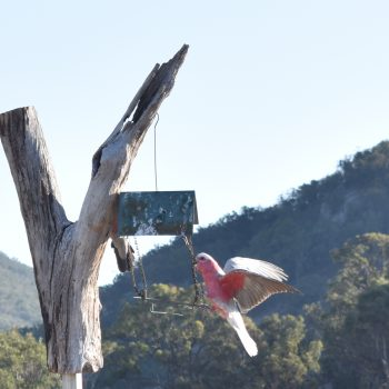 the return of the galahs
